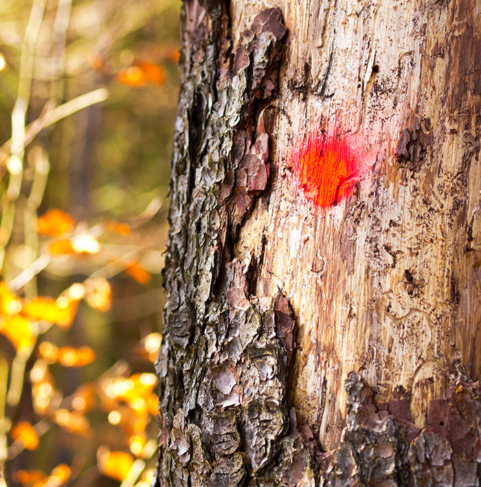 Damaged & dying pine tree from bark beetle infestation, marked for removal