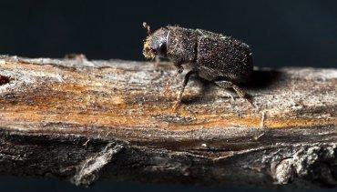 Bark Beetle Infestation Services