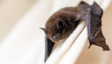 Click here for our Bat Removal, Bat Remediation, Bat Control, and Exclusion